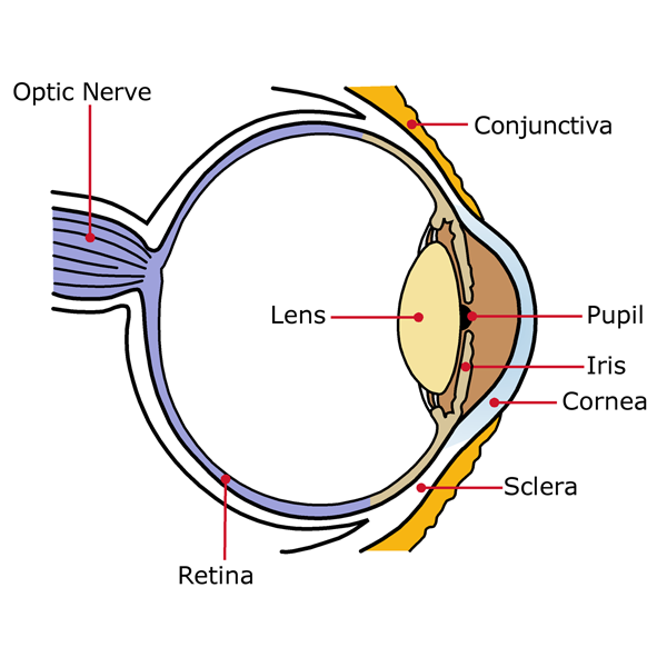 Go Back > Gallery For > Parts Of The Eye Diagram Blank